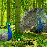 Free online flash games - Peafowl Forest Escape game - WowEscape
