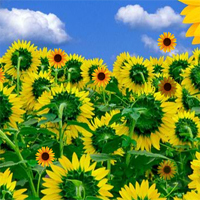 Free online flash games - Hidden Sunflower
