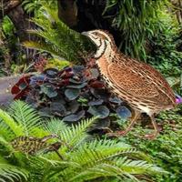 Free online flash games - Quail Bird Rainforest Escape game - WowEscape